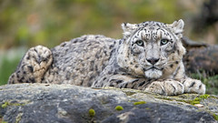 Villy looking at me... (Tambako the Jaguar) Tags: snowleopard big wild cat male lying looking tensed posing portrait rock stone vegetation zoo zürich switzerland nikon d5
