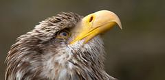 Looking out for peace (pe_ha45) Tags: weisskopfseeadler baldeagle wappentier haliaeetusleucocephalus pygargueàtêteblanche aquilacalva águilacalva nationalbirdofusa
