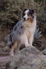 Leader of the Pack (Jasper's Human) Tags: aussie australianshepherd dog explore boycethompsonarboretum