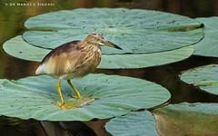 Pond heron balancing on a lotus leaf. (MCSindagi) Tags: sony sonyindia sonycybershot sonyrx10m4 sonyrx10mkiv sonyrx10 sonyrx10iv rx10iv rx10 bengaluru karnataka bangalore indianbirds pondheron lotusleaf balance