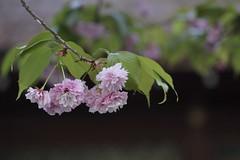 Sakura,Hirano-jinja,Kyoto (yopparainokobito) Tags: sakura cherryblossom 桜 さくら hiranoimose 平野妹背 hiranojinja hiranojinjya 平野神社 canon eos eosm3 m3 京都 kyoto