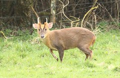 Muntjac Buck II (glostopcat) Tags: muntjacbuck muntjacdeer buck deer animal mammal wildlife glos april spring