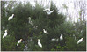 White birds in green trees (na_photographs) Tags: vögel reiher heron dream traum white weis gefieder baum tree unreal surreal