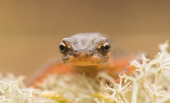 Smooth Newt (Wouter's Wildlife Photography) Tags: smoothnewt triturusvulgaris amphibian salamander animal nature naturephotography wildlife wildlifephotography billund macro lissotritonvulgaris