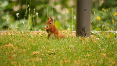 Squirrel (ricardopardie123) Tags: nature tree forest squirrel grass flower plant green animal yellow air land nut food leave color area godscreation picture photo