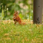 Squirrel thumbnail