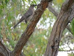 Strepera versicolor versicolor 1 (barryaceae) Tags: little desert national park vic victoria ausbird ausbirds strepera versicolor southeastern grey currawong australia