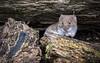 Caught In The Act (Fourteenfoottiger) Tags: food bankvole rodent vole wildlife animal wildanimal seeds wood woods woodland eat eating