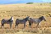 IMG_2909 (SusanKurilla) Tags: wildlife africa kenya tanzania wild safari adventure zebra field landscape