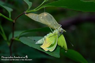 Borboleta (butterfly) - Nascimento (birth)