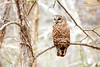 a sleepy barred owl (lxiao9990) Tags: spring nashville tennessee wildlife barredowl radnorlake bird