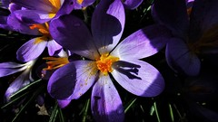 """ Oh play me a blues song and turn down the light, i'm sad as a proud man can be sad tonight "" (hope2029) Tags: crocus stem macro flower shadows sunlight leeds west yorkshire"