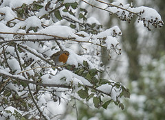 A robin in the snow (ORIONSM) Tags: robin bird uk britian snow spring winter tree bush red breast native nature feathers wildlife olympus omdem1 olympus14150mm
