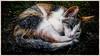 (hammer.adrienn) Tags: cute animal cat pet kitty katze pets outdoor resting