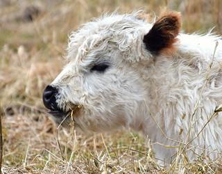 Little calf (White Galloways)