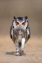 I'm walking..... - by TanjaBrandt (KevinBJensen) Tags: animal animals animalphotography bird owl owls tier tiere tierfotografie eule eulen vogel walk walking funny beauty eyes eizo nikon nikondeutschland nikond850