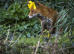 Daffodil day (mond.raymond1904) Tags: fox dublin dodder daffodil flower river