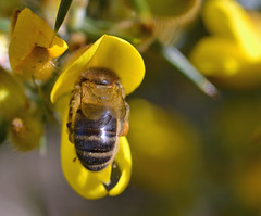 Honey bee on/in a gorse flower (conall..) Tags: gorse honeybee honey bee ulexeuropaeus ulex europaeus pollen load