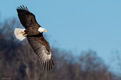 Bald Eagle at Colvill Park in Red Wing MN (brucesenst) Tags: bald minnesota winter mississippi eagle flight turn