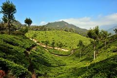 India - Kerala - Munnar - Tea Plantation - 48 (asienman) Tags: india kerala munnar teaplantagen asienmanphotography