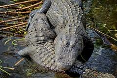 Yin and Yang (Darts5) Tags: alligator alligators reptile gator gators americanalligator florida 7d2 7dmarkll 7dmarkii 7d2canon ef100400mmlll closeup canon7d2 canon7dmarkll canon7dmarkii canon canonef100400mmlii
