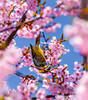 Sakura Acrobat (Jun deCix) Tags: 桜 cherry blossoms pink spring flowers beautiful