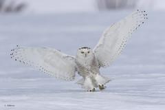Snowy Owl / Harfang des neiges (shimmer5641) Tags: buboscandiacus snowyowl harfangdesneiges birdsofquebec birdsofbritishcolumbia birdofthearctic raptor birdofprey strigidaefamily owl búhonival
