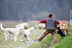Pastorizia (dmx80) Tags: eos5dmkiii canonef500mmf4lisusm canonextenderef14x pastore cane cani dog shepherd hardlife