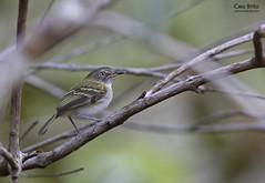 Buff-cheeked Tody-Flycatcher (Poecilotriccus senex)