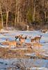 Deer Day ... (Ken Scott) Tags: backpage deer springmelt snow woods leelanau michigan usa 2018 march spring 45thparallel kenscott kenscottphotography kenscottphotographycom freshwater greatlakes lakemichigan sbdnl sleepingbeardunenationallakeshore voted mostbeautifulplaceinamerica
