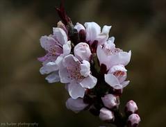 Nothing in life means anything unless someone cares.... (itucker, thanks for 4+ million views!) Tags: prunus peach blossom peachblossom floweringpeach bonfire raulstonarboretum macro bokeh