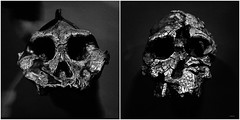 Still Friends (Thomas Listl) Tags: thomaslistl blackandwhite noiretblanc biancoenegro skulls museum naturalhistorymuseum london uk greatbritain squares square diptych light contrasts ancient friends grey dark