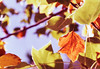 Autumn Leafs (Shane_Anthony) Tags: 52weekchallenge shaneanthonyphotography 52weekfilmphotographychallenge photographerbacchusmarsh 1rolloffilmaweek ishootfilm c200 35mmfilm colourfilm colorfilm photographer scanwithplustekopticfilm8100 fujicolor filmphotography photographermelbourne photographermelton photographerwarracknabeal fujicolorc200 filmsnotdead leaf leafs autumn autumnleafs trees albury autumncolours nikonf80 nikonn80