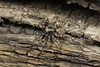 Famille Lycosidae - Pirata sp. (Répertoire des insectes du Québec) Tags: arachnide araignée arachnida macro quebec spider