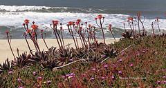 Beach Succulents (MyRidgebacks - Sharon C Johnson) Tags: beach bluffs succulents nature ocean views sharoncjohnsonphotography abigfave coth5