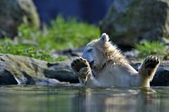Nanook (Michael Döring) Tags: gelsenkirchen bismarck zoomerlebniswelt zoo eisbär polarbear iuvenil nanook afs600mm40e d850 michaeldöring inexplore