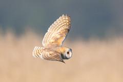 barn owl (ianbollen) Tags: carltoncolville england unitedkingdom gb suffolk carlton marshes owl barn