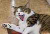 'You're Hilarious Mom!' (Aranelinya) Tags: tabby tabbycat funnycat hershel
