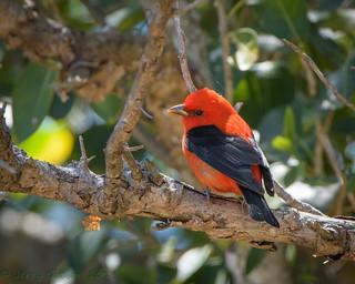 Fort De Soto Park male Scarlet Tanager 04-16-2018