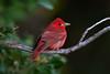 Summer Tanager (PeterBrannon) Tags: bird florida fortdesoto migration nature pinellas pirangarubra redbird songbird summertanager tampa tanager wildlife his