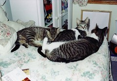 Three Cats Lounging (Stabbur's Master) Tags: cats kitty kitten kitties catslounging