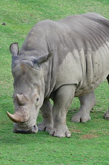 DSC_5229 (Andrew Nakamura) Tags: animal mammal rhino rhinoceros whiterhino southernwhiterhinoceros sandiegozoosafaripark safaripark escondido