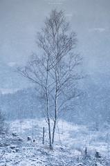 Absent Friends (Sarah_Brooks) Tags: trees treescape landscape highlands scotland scottish birch forestdestructin snow snowing blizzard