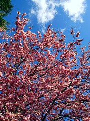 ~ A Spurt of Spring ... (~ Cindy~) Tags: aspurtofspring rockwood tennessee pinkblossoms blueskies clouds beautifulday 2018