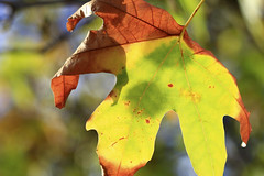Senescence (explored) (Greenstone Girl) Tags: flowers oak leaves berriesl autumn oakleigh warraweepark