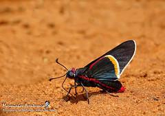Mysoria barcastus (Sepp, 1851) (Marquinhos Aventureiro) Tags: wildlife vida selvagem natureza floresta brasil brazil hx400 marquinhos aventureiro marquinhosaventureiro borboleta butterfly mysoria barcastus hesperiidae pyrrhopyginae