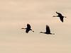 IMGPJ32733_Fk - Jackson County Indiana - Migratory Birds - Ewing Bottoms - Sandhill Cranes (David L. Black) Tags: olympusomdem1mkii olympus300f4014xtc birds sandhillcranes jacksoncountyindiana