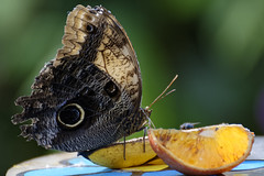 Fruity Brunch (Alfred Grupstra) Tags: insect butterflyinsect nature animal animalwing wildlife closeup multicolored macro lepidoptera beautyinnature summer yellow animalantenna fragility orangecolor brown greencolor animalsandpets blackcolor