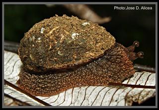 Platysuccinea portoricensis1