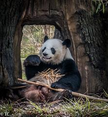 Panda Zoo Berlin (truus1949) Tags: dierentuin panda berlijn